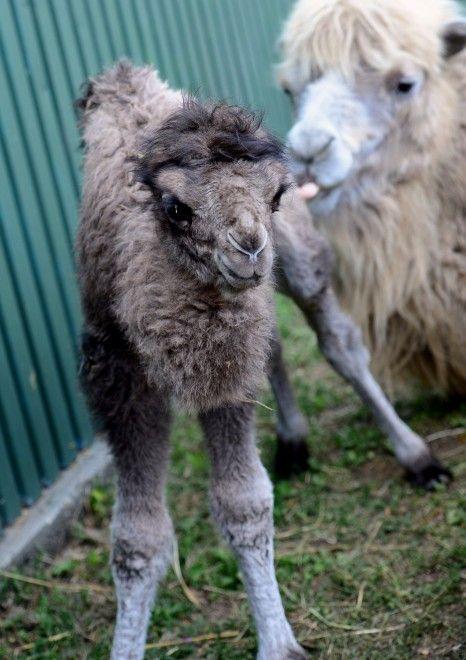 Si chiama Ilias il cucciolo di cammello nato l'8 aprile allo zoo di Budapest. Le immagini lo ritraggono nei primi giorni di vita mentre riceve le cure di mamma Iris, esemplare adulto di otto anni. Generalmente questi animali partoriscono un solo figlio dopo un periodo di gestazione di 12-14 mesi. Ol