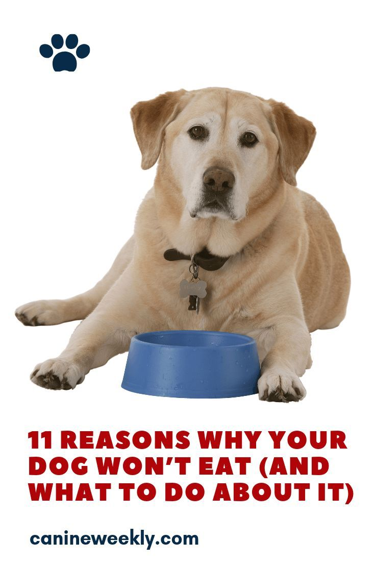 11 Reasons Why Your Dog Won T Eat And What To Do About It Dog