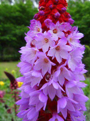 China Orchid Primrose Primula vialii - 20 Seeds