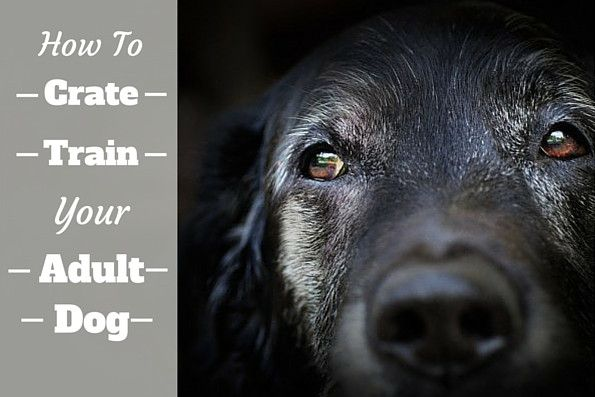 Learn how to crate train an older, adult dog. There are many times they may need to rest calmly in a crate, even if they've never used one before!