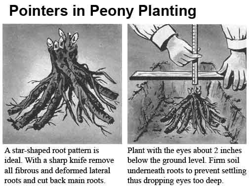 Growing Peonies: How To Plant And Grow The Peony Flower