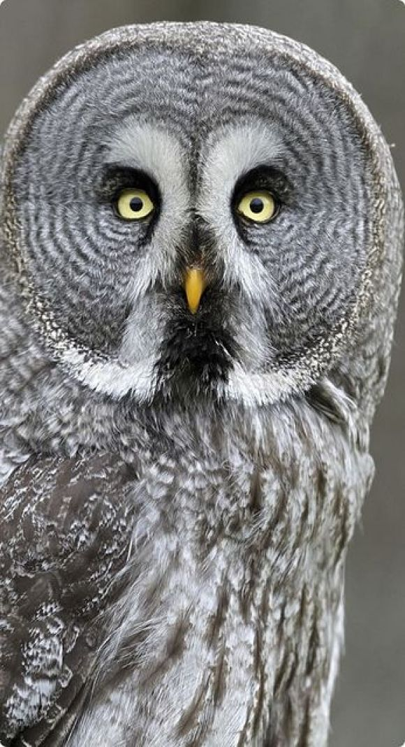 Great Grey Owl | A place to call home & birds | Pinterest