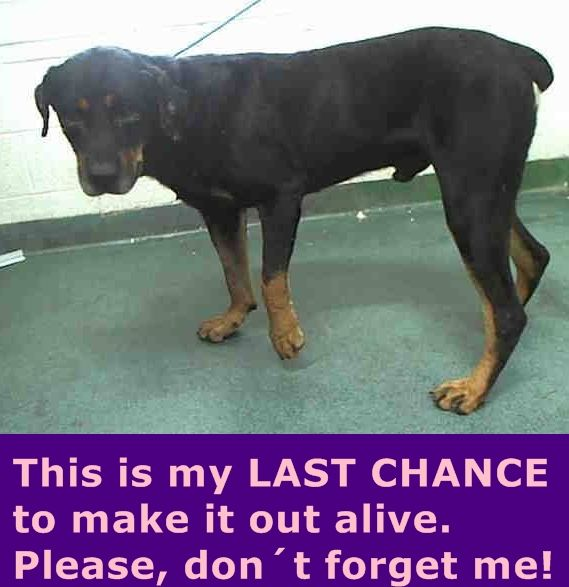 ROCKO (A1703718) I am a male black and tan Rottweiler. The shelter staff think I am about 4 years old. I was found as a stray and I may be available for adoption on 06/14/2015. — Miami Dade https://www.facebook.com/urgentdogsofmiami/photos/pb.191859757515102.-2207520000.1434307376./989195607781509/?type=3&theater