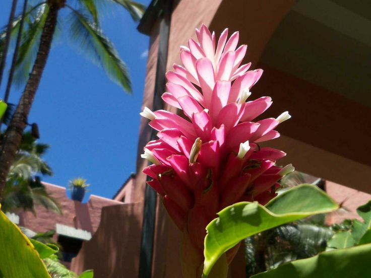 Pink Ginger Blossom | Hawaii Pictures of the Day