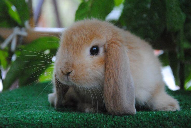 Coniglio ariete nano fulvo allevamento coniglio nano in - Lettiera coniglio nano ...