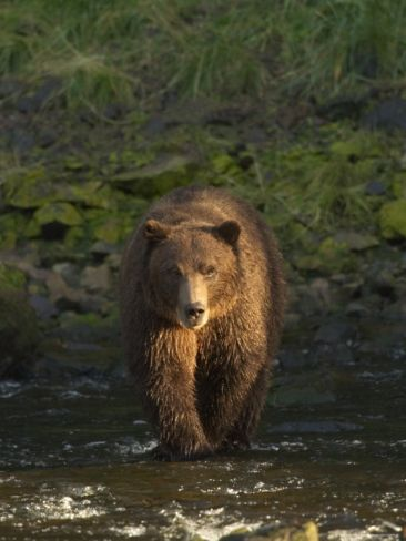 An Alaskan Brown Bear Crosses a Stream in Tongass National Forest Photographic Print by Ralph Lee Hopkins at Art.com