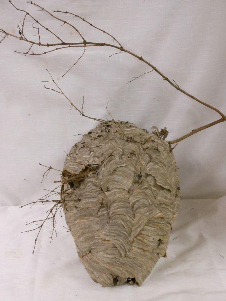 Medium Paper Wasp Hornets Nest Beehive Bee Hive Taxidermy Western New York  | eBay