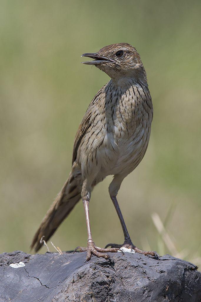 Striated Grassbird  (Megalurus palustris toklao)
