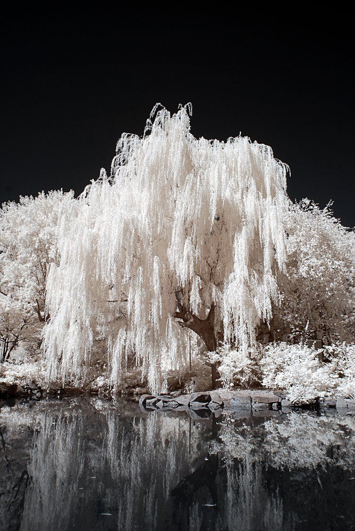 A willow tree near a pond in Montreal - Weeping Willows /  My Favorite Tree Because They Seem So Dreamy & Romantic / Never Seen An All White Though / Beautiful Shot