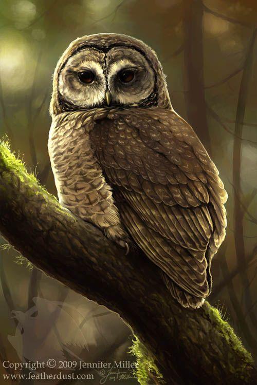 Northern Spotted Owl by Jennifer Miller