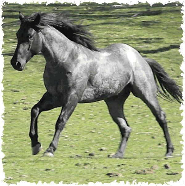 Plentyberry Ambrose, Blue Roan Quarter Horse Stallion