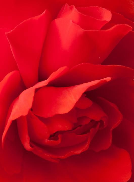 RED BEAUTY - rose