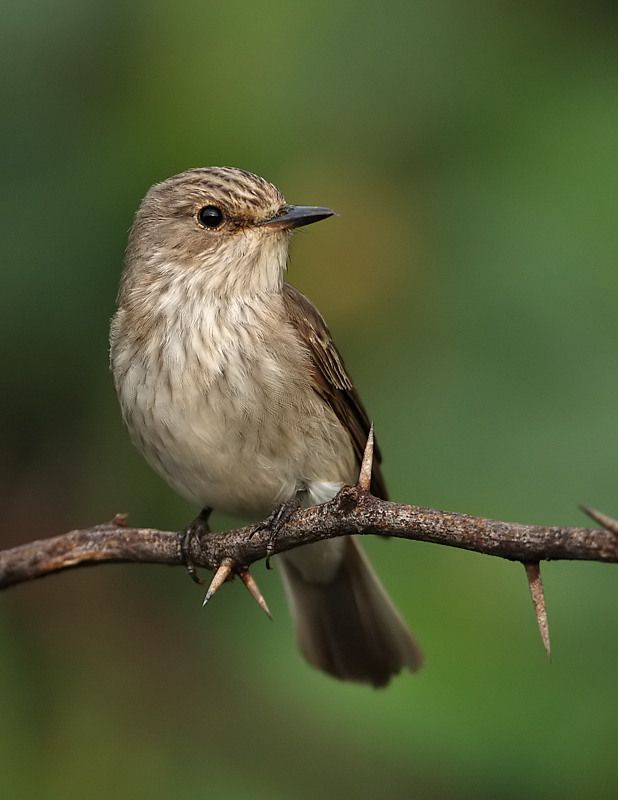 Spotted Flycatcher (Muscicapa striata) a small Passerine Bird in the Old World Flycatcher Family. It breeds in most of Europe and Western Asia.