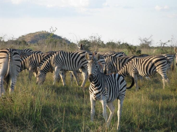 A dazzle of zebras.