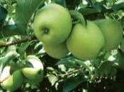 Elma Fidanı Golden 5 Yaşında Açık Köklü http://www.fidanistanbul.com/urun/2662_elma-fidani-golden-5-yasinda-acik-koklu.html Fidan Satışı, Fide Satışı, internetten Fidan Siparişi, Bodur Aşılı Sertifikalı Meyve Fidanı Süs Bitkileri,Ağaç,Bitki,Çiçek,Çalı,Fide,tohum,toprak