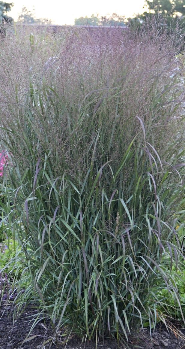 The foliage of a plant such as Prairie Winds Apache Rose panicum is way too fine to attract deer. But it will provide year round beauty to your garden, including winter interest when the snow is on the ground. #deerresistantplants #deerresistant #droughttolerantplants