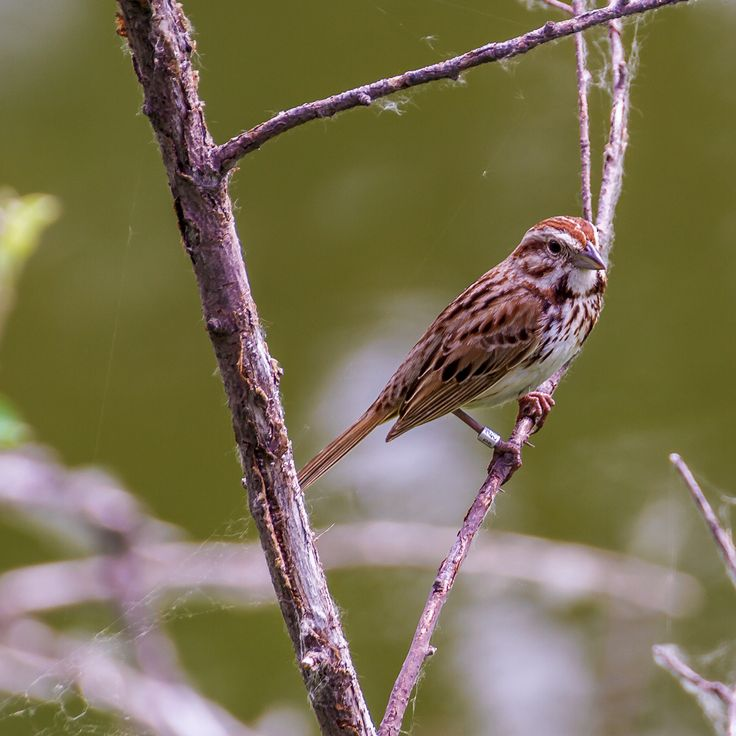 Checking out a clay-colored sparrow