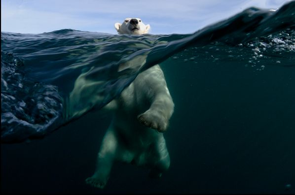 "Oso polar. Foto de Joe Bunni premiada en los ""Global Arctic Awards"". Via @TapasDeCiencia."