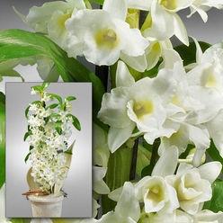 Asiatische trauben orchidee im topf pflanzen pinterest - Asiatische zimmerpflanzen ...