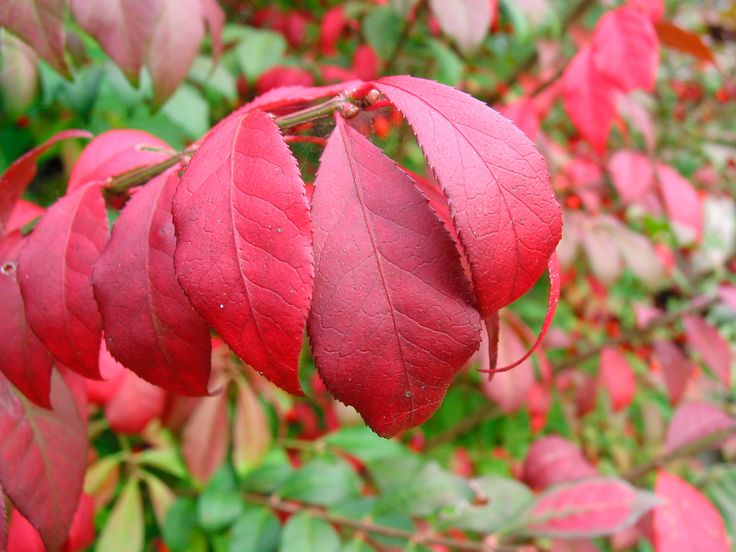 """Burning bush is a dramatic addition to any garden or landscape. While it is a popular shrub, burning bush is also a shrub that is prone to """"overgrowing"""" its space. Get tips on pruning these shrubs in this article."""