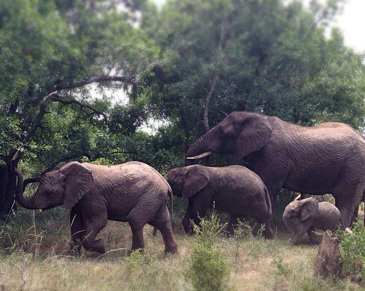 Elephant train including young elephants around age 3 years! SA