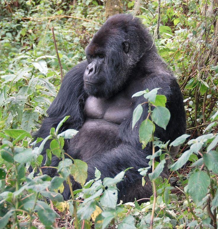Gorila das montanhas, (Gorilla beringei beringei). O gorila de montanha é o maior primata do mundo. Um gorila de montanha macho pode chegar até 1,9 m de altura. Sua extensão do braço é cerca de 2,3 m e pesa cerca de 220 kg.  Fotografia: Dave Proffer no Flickr.