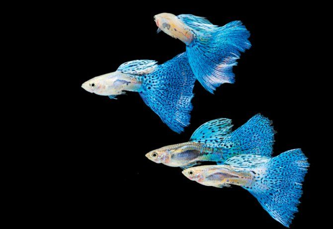 "Guppies--This is considered a ""beginners fish"" because they are so easy to care for but they have been bred in so many gorgeous colors and tail shapes they are well worth keeping even for advanced aquarists. I would love to go to a guppy show!"