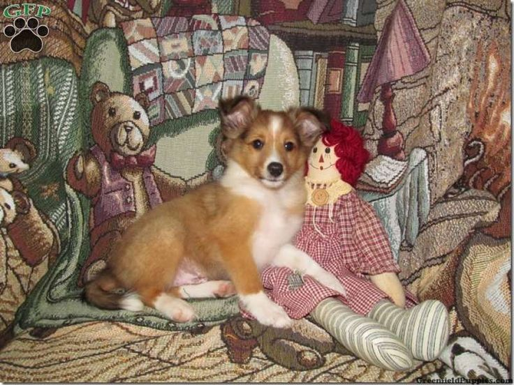 Korey, Sheltie puppy for sale from Quarryville, PA