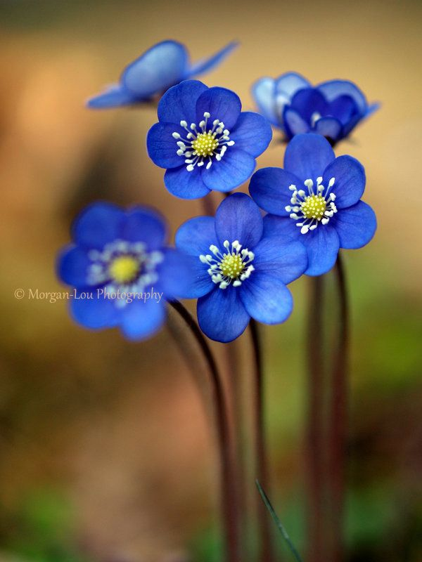 ~~Starlets ~ tiny forest wild Blue Anemones by Morgan-Lou~~