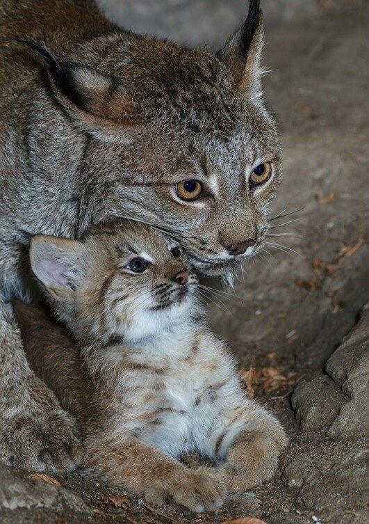 Cute lynx and cub