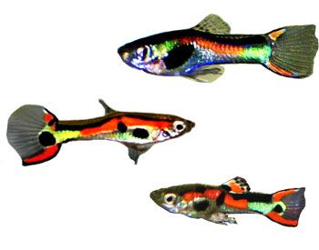 1000 images about colorful guppies on pinterest guppy for Easiest fish to take care of