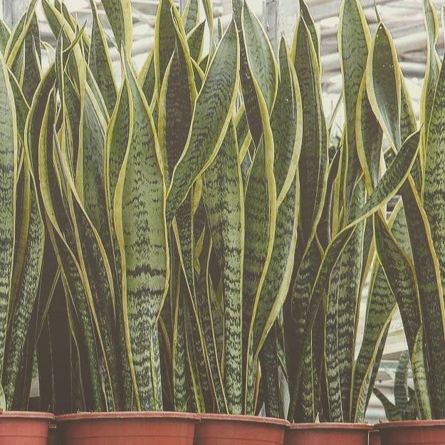 Schlafzimmer Mit Vielen Pflanzen: 4 Pflanzen Die Du In Deinem Schlafzimmer Haben Solltest