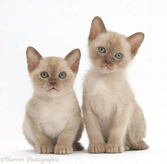 Pin By Cat Lover On Breed Burmese Burmese Kittens Tonkinese