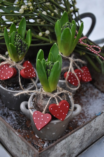 """Hearts & hyacinths...If you haven't """"force grown"""" bulbs indoors for Christmas maybe you'll try them this year. I particularly love to Amaryllis bulbs in clear containers. With the bulbs you can start them around Thanksgiving and they are blooming by Christmas. I very much enjoy the white hyacinth with red tulips in the same bowl with just stones and water, no dirt. Then tie a beautiful ribbon around the clear glass bowl. SWEET."""