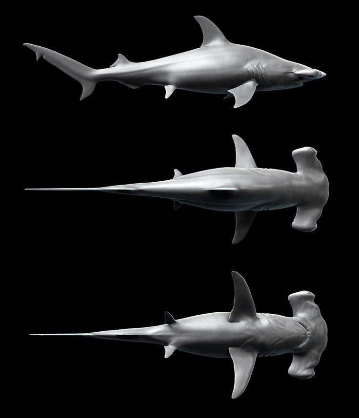 HammerHead Shark - Sphyrna mokarran by Kimsuyeong81.deviantart.com on @deviantART