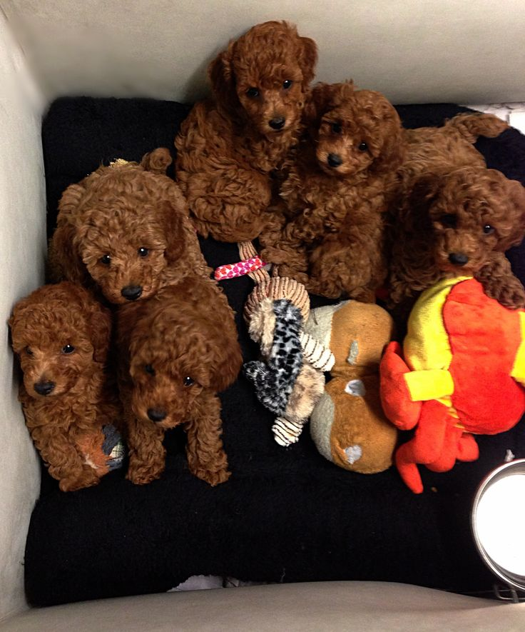 Cute babies at 7 weeks- beautiful red poodle puppies:)