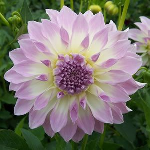 Dahlia hybrid. Stunning formal delicate cream bloom with a soft lavender blush. Large rounded blooms of up to 15cm whose lush foliage and mass of blooms are sure to fill any hole in your garden. These amazing flowers usually take 120 days to bloom once planted. Prefers a full sun to part shade.