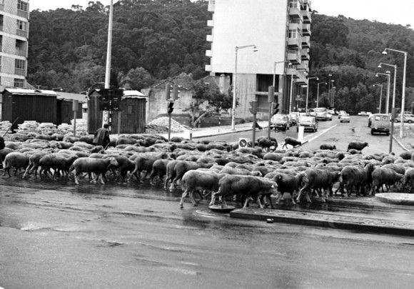 Rebanho de ovelhas em Benfica - 26/09/1981 - Arquivo Fotográfico da LUSA