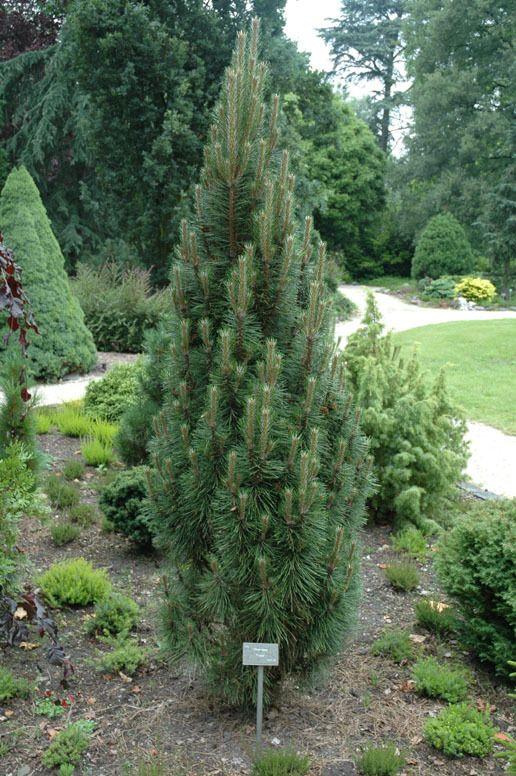 Kigi Nursery - Pinus nigra ' Frank ' Dwarf Columnar Austrian Pine, $15.00 (http://www.kiginursery.com/dwarf-miniatures/pinus-nigra-frank-dwarf-columnar-austrian-pine/)