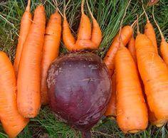 Когда сажать морковь и свеклу весной - определяем оптимальные сроки