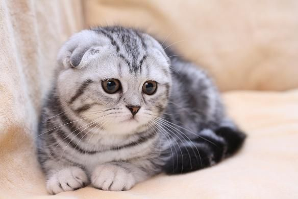 шотландцы кошки - Поиск в Google