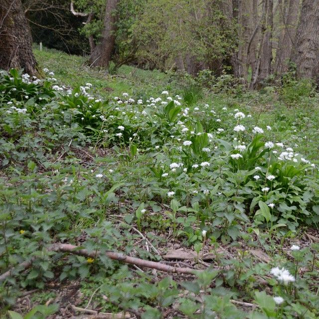 Wild Garlic (Ransoms) in the Wey and Arun Canal Trust's Hunt Nature Park, Shalford, Guildford. #wildgarlic #ramsons #nature #wildflowers #Wildlife #Shalford #Guildford #Weyandarun #WeyandArunCanal
