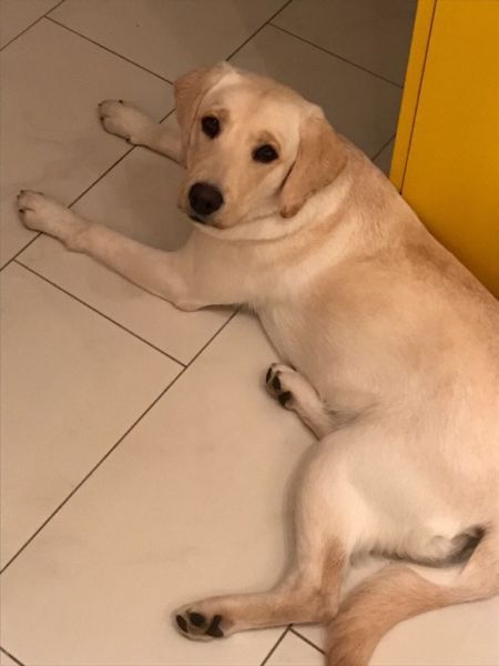Labrador-Hündin, reinrassig mit Papieren, 10 Monate alt, verspielt aus beruflichen Gründen in gute und liebevolle Hände abzugeben. Sie ist gechipt, geimpft, entwurmt und sterilisiert. Welpen- und Junghundschule hat sie auch besucht. Hundebett, Leine, Spielzeug vorhanden.