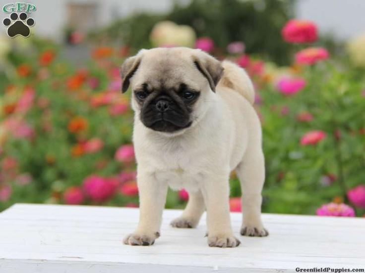 Pug Puppies For Sale In Nyeri Kenya