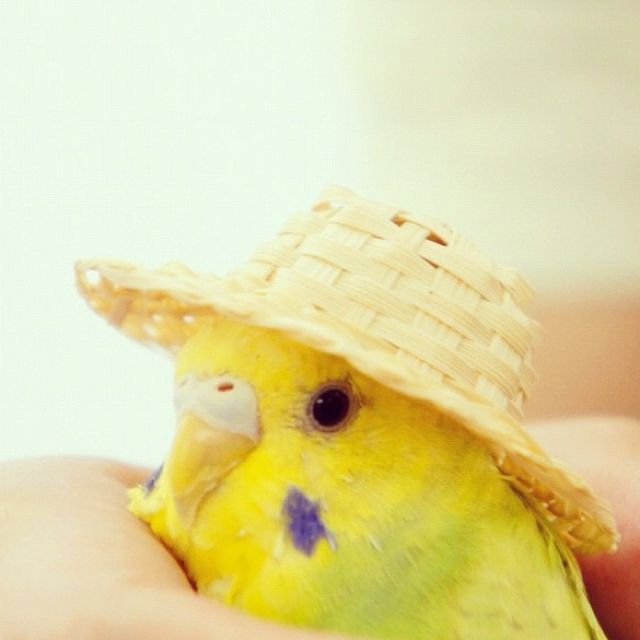 Notice how the budgie is being held. No budgie in it's right mind (is that even possible with a budgie?) will calmly wear a hat.