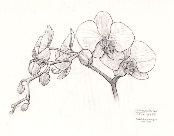 Orchid Sketch In 2020 Sketches Orchid Drawing Flower Sketches