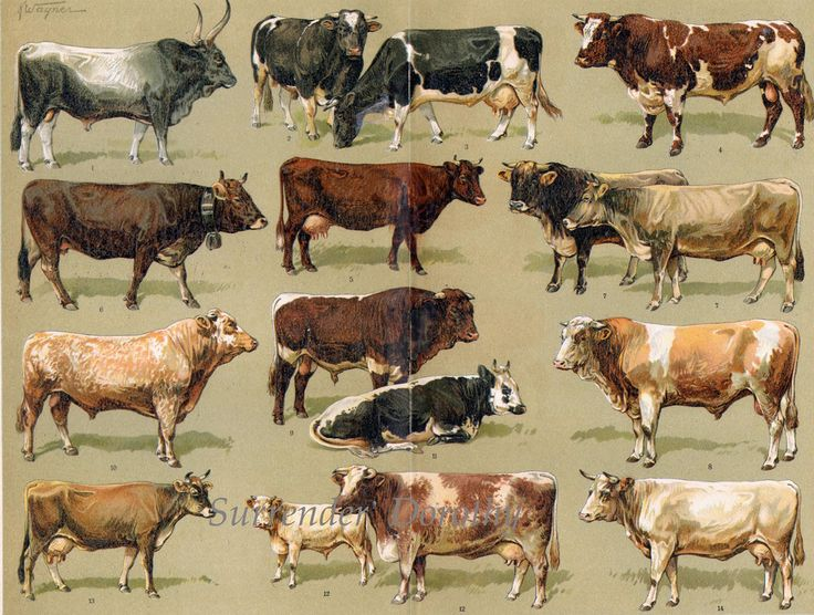 1907 Cattle Varieties Antique Livestock Chart From Germany