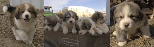 Bernese Mountain Dog / Great Pyrenees mix puppies