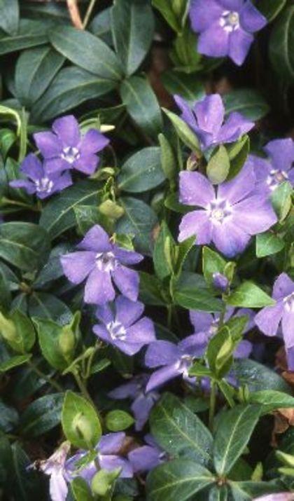 Vinca minor - Het zijn bloeiende wintergroene bodembedekkers die sterk zijn en schaduw verdragen.