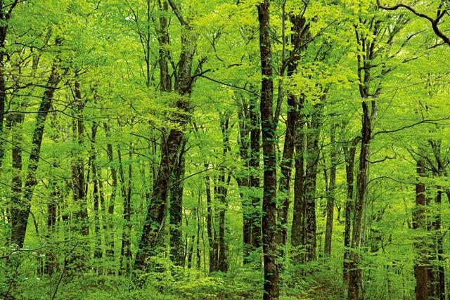 白神山地の森
